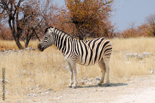 Papiers peints Hyène Little cute Zebra in the Etosha National Park