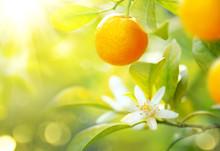 Ripe Oranges Or Tangerines Han...
