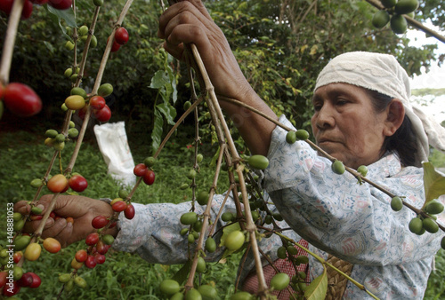 Mexican Indian Coffee Picker Collects The First Beans Of New Harvest Near Village