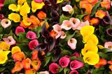 Calla lily (Zantedeschia) flowers in full bloom.