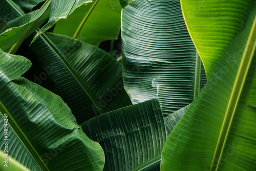 Foto Big green banana leaves in Asia (Thailand)