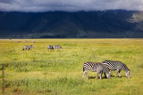 Zebra in the crater of Ngorongoro. Africa. Tanzania.