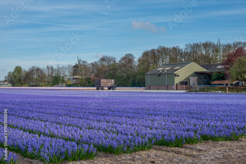 Poster Flower shop Colourful field of Hyacinth near Keukenhof, the Netherlands