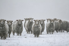 Cold Sheep