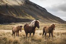 Icelandic Horses Standing In F...