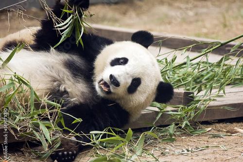 Keuken foto achterwand Panda Panda eating bamboo