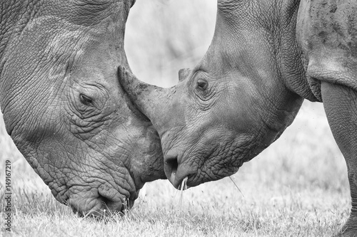 Spoed Foto op Canvas Neushoorn Close-up of a white rhino head with tough wrinkled skin