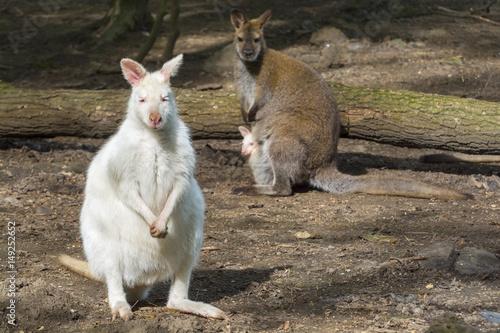Mixed wallaby family