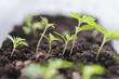 Seedlings of plants