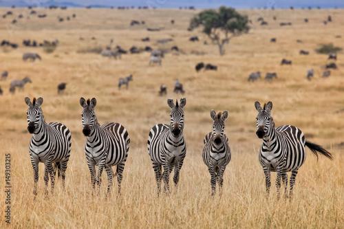Zebras, Masai Mara, Kenya