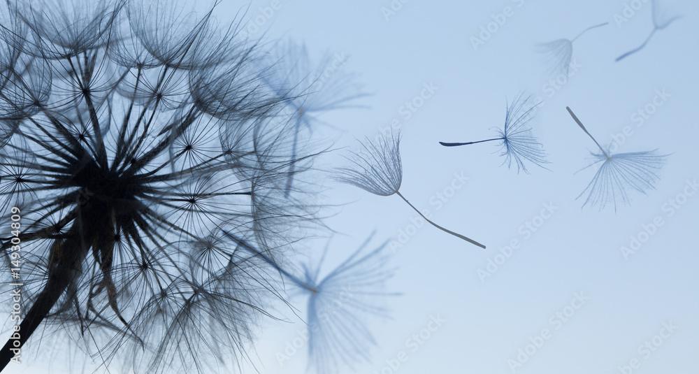 Fototapety, obrazy: Dandelion silhouette fluffy flower on blue sunset sky
