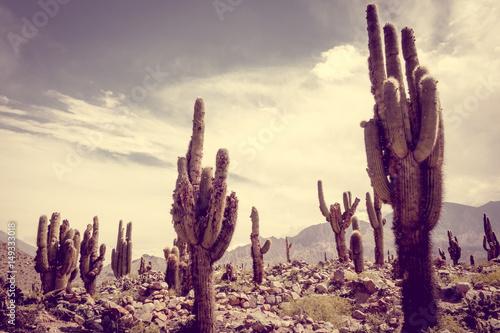 Papiers peints Cactus giant cactus in the desert, Argentina