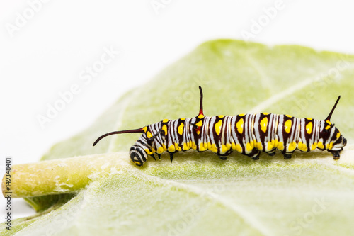 Fotografie, Obraz  Caterpillar of plain tiger butterfly eating leaf