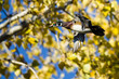 Wood Duck Flying Past the Autumn Trees