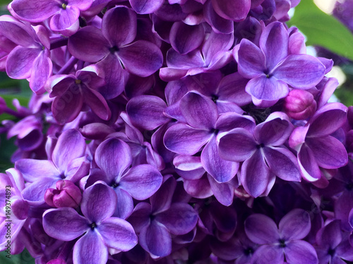 Recess Fitting Lilac flower, lilac, floral, blossom, nature, season, background, purple, petal, bush, bunch, branch, plant, blooming, color, bloom, summer, macro, pink, stamen, soft, garden, spring, romance, bouquet, bota