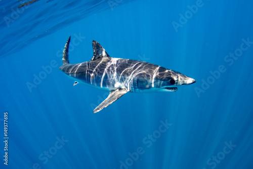 Plakat Mako Shark