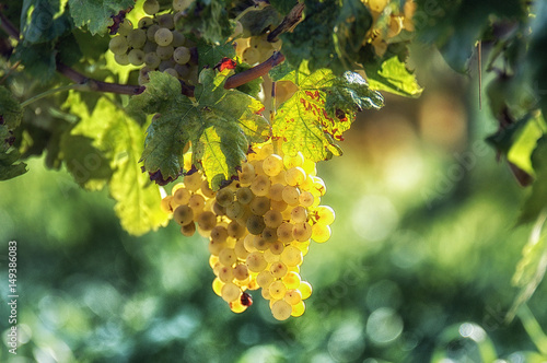 Photo sur Aluminium Vignoble Uva italiana