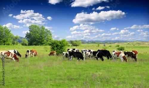 Fotografie, Obraz Cows grazing on pasture