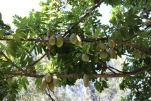Moreton Bay Chestnuts - Black Bean Native To Rainforest