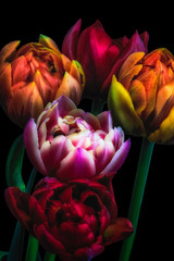 Panel Szklany Podświetlane Tulipany surreallistic/fantastic realism vintage glowing tulips bouquet macro on black background, colorful blooming quintet in fine art still life style