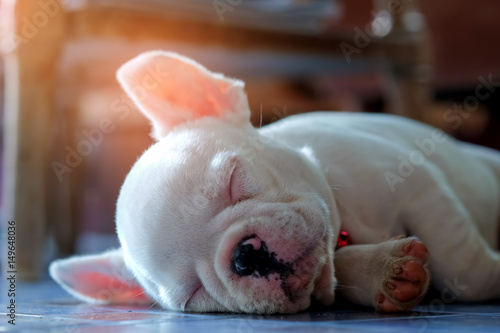 Young french bulldog white sleeping on the floor.