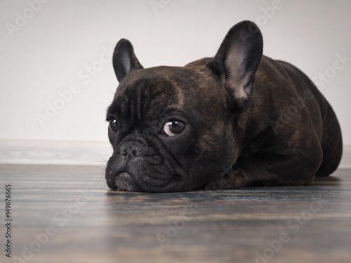 Foto op Aluminium Franse bulldog Sad dog lying on the floor. Expressive eyes
