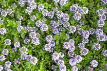 Thyme Flowers And Leaves In Garden During Blossom Season