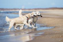 Three Golden Retriever Dogs Ca...
