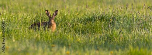 Canvastavla Single wild hare hidden in spring green grass
