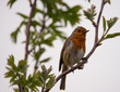 Christmas robin perched on a branch