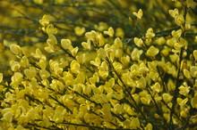 Gelber Ginster, Die Gelbe Blü...