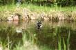 płynąca kaczka krzyżówka - barwny samiec