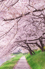 Fototapeta Orientalny Sakura tree in the park.Japan