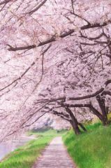 Panel Szklany Orientalny Sakura tree in the park.Japan