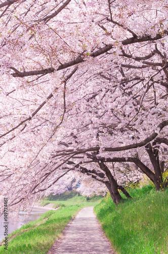 Sakura tree in the park.Japan - 149774461