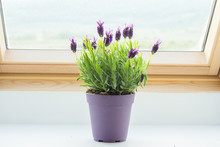 Potted Lavender On Window Sill
