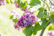 Beautiful blooming purple lilac branch