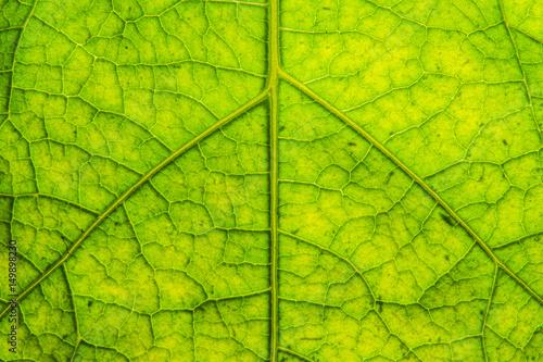 leaf texture #149898230