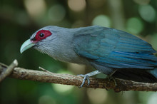 Green Billed Malkoha In Nature