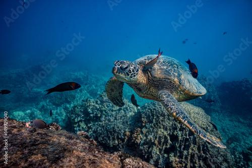 Plakat Żółw morski zatrzymuje się, aby popływać na czystej stacji. Skóra oczyszczająca ryby pod wodą