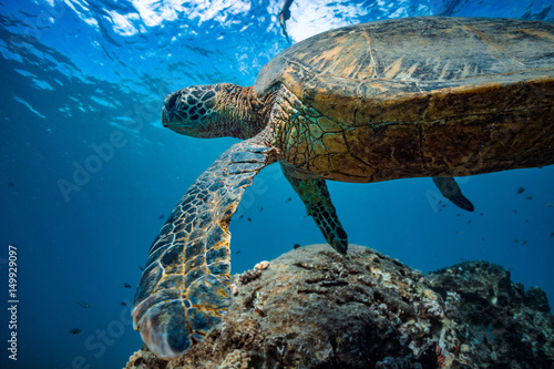 Plakat Żółw w błękitnej wodzie Pacyficznego oceanu. Zbliżenie portret dzikie zwierzę podwodne