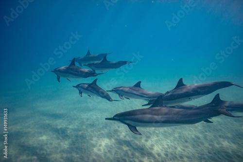 Obraz na dibondzie (fotoboard) Dzikie delfiny pod wodą w głębokim błękitnym oceanie