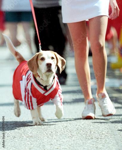 quality design 3dd83 d0bbf Dog dressed in Arsenal FC team stripes accompanies its owner ...