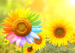 canvas print picture - Sunflower with petals painted in rainbow colors