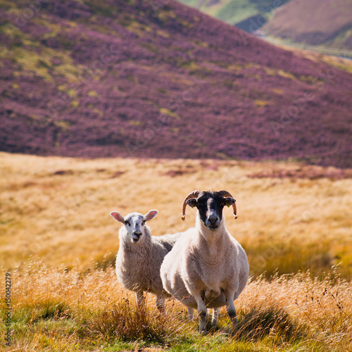 Scottish sheep grazing on the meadow with blooming heather in the mountains Poster