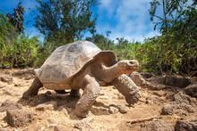 Ivory Turtle. The Galapagos Tortoise. The Galapagos Islands. Ecuador.