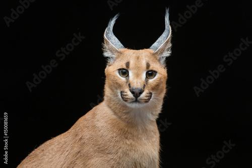Foto auf Leinwand Luchs Beautiful caracal lynx over black background