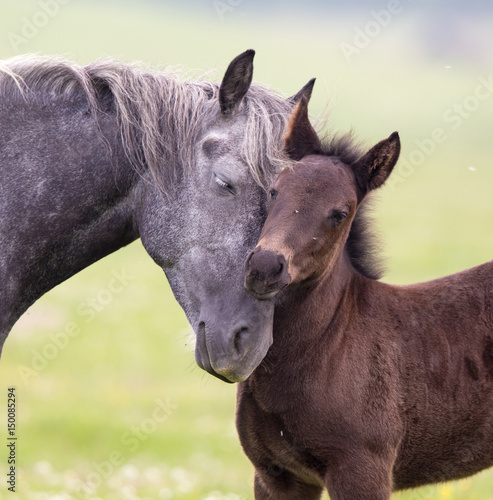 Valokuvatapetti Horse and foal love and care