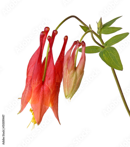 Flower and bud of wild columbine (Aquilegia canadensis) isolated on white Wallpaper Mural