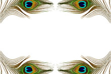 Peacock Feather Texture In White Background With Text Copy Space